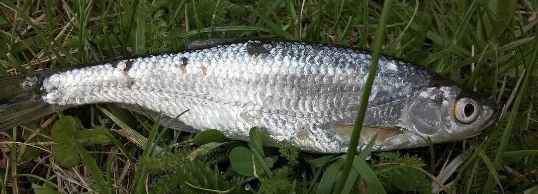 Уклейка фото рыбы