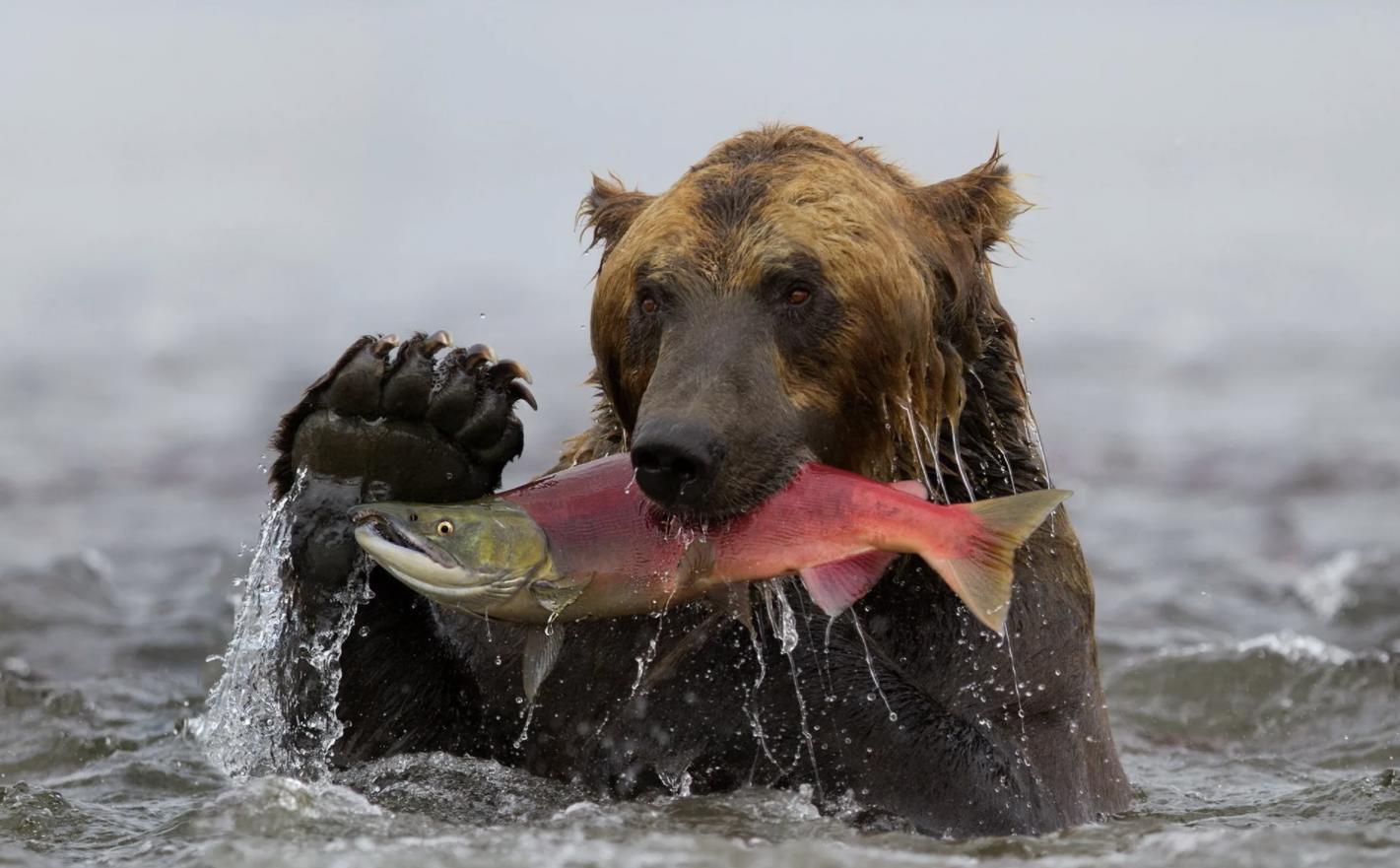 Медведь поймал нерку